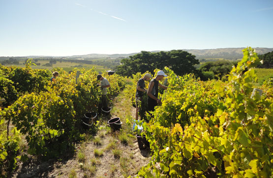 Arakoon Wines Picking Grapes